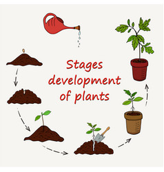 Diagram of the stages of growing plants from seed vector