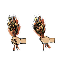 Hand grab bunch of barley vector