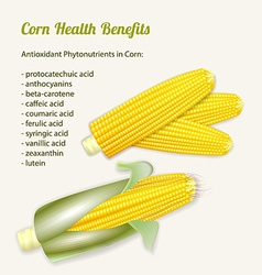 stylized fresh ripe corn in the cob vector image