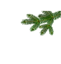 green realistic branch of fir or pine close-up vector image