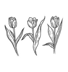 tulip flowers sketch vector image