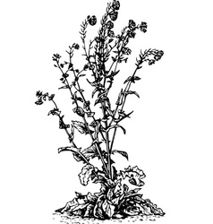 plant brassica napus vector image vector image