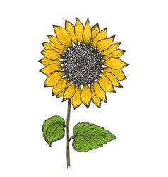 colorful yellow ink pen sketch of sunflower vector image