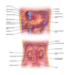 Abdominal veins vector image