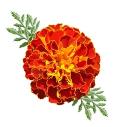 Marigold tagetes vector