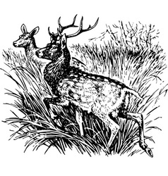 Deer cervus nippon vector