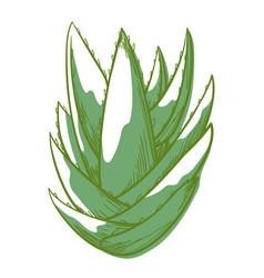 Aloe bush green icon beautiful succulent plant vector
