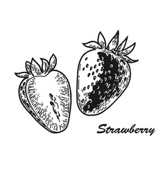 strawberry engraved sketch vector image
