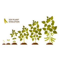 soy plant evolution with leaves flowers and pods vector image
