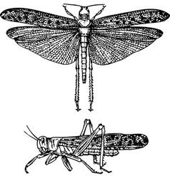 Insect schistocerca gregaria vector