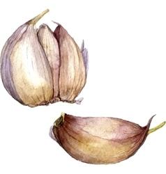 Watercolor drawing garlic vector