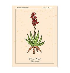 Aloe vera medicinal plant hand drawn vector