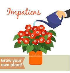 hand watering impatiens plant vector image vector image