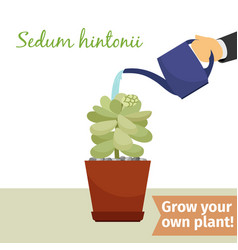 hand watering sedum hintonii plant vector image