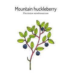 Mountain huckleberry edible and medicinal plant vector