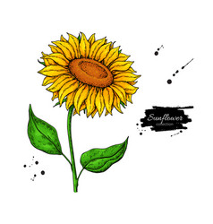 sunflower flower drawing hand drawn vector image vector image