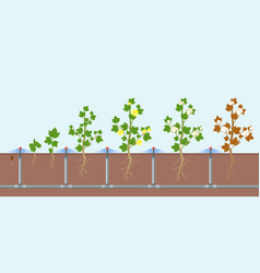 Cotton growing and watering vector