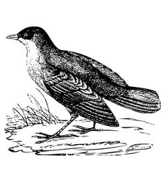 White throated Dipper engraving vector image vector image