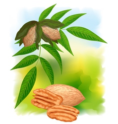 pecan nuts with leaves vector image