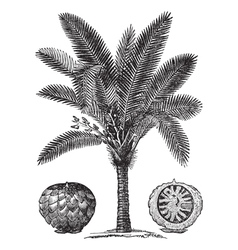 Sago Palm sketch vector image