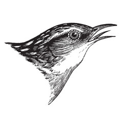 Short billed marsh wren vintage vector