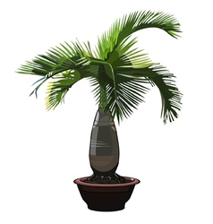 palm tree Hyophorbe in a pot vector image vector image
