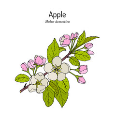 blossoming apple tree branch malus domestica vector image