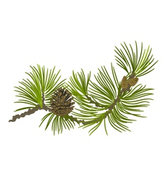 Branch of christmas tree pine branch vector