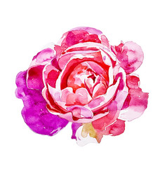 bright pink rose isolated on white background vector image