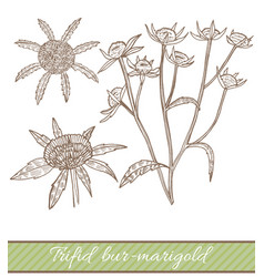 Trifid bur-marigold in hand drawn style vector