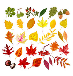 autumn oak maple rowan leaf foliage fall vector image