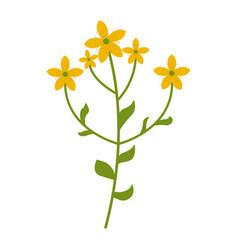 tutsan flower flat icon wild flowers plant vector image