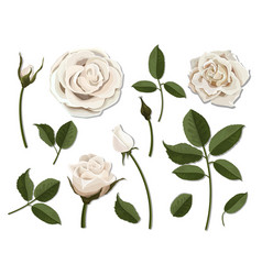 Set of white rose flower parts vector