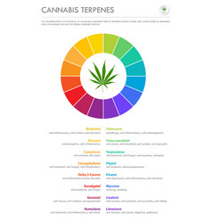cannabis terpenes vertical business infographic vector image