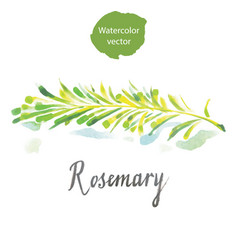 Twig of rosemary vector