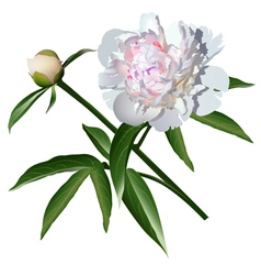 White realistic paeonia flower with leaves and bud vector image