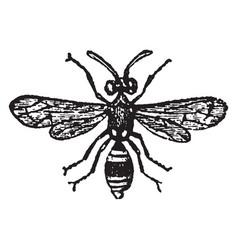 A species of odynerus vintage vector