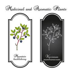 Mountain huckleberry vaccinium membranaceum vector