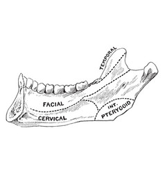 Areas of lower jaw vintage vector