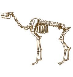 engraving of camel skeleton vector image