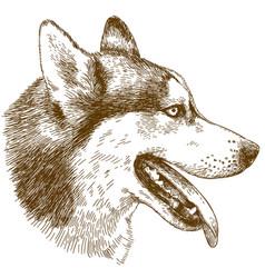 etching of husky dog head vector image