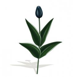 black tulip vector image