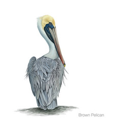 brown pelican vector image