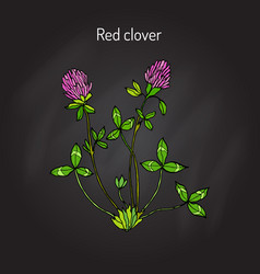 red clover or trifolium pratense vector image