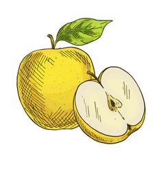 yellow apple with leaf full color sketch vector image
