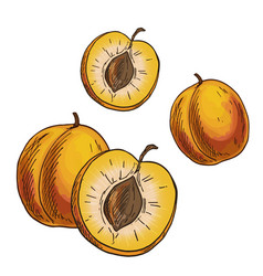 apricots full color sketch vector image