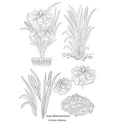 Hand drawn of a plant acorus calamus vector