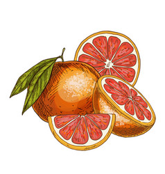 Grapefruit half of fruit slice vector
