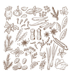 hand drawn of different herbs and vector image