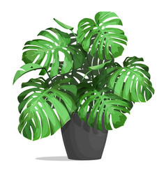 Monstera in a pot vector